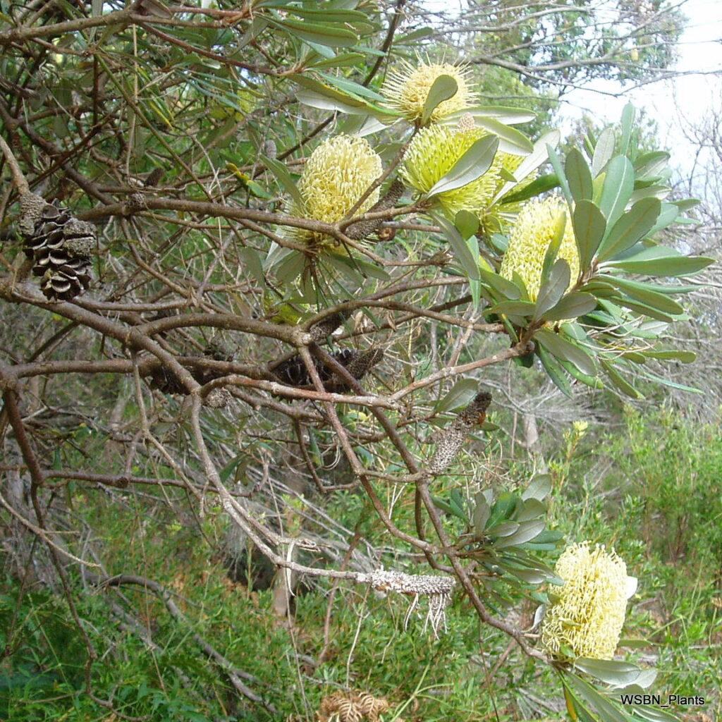 anksia-integrifolia