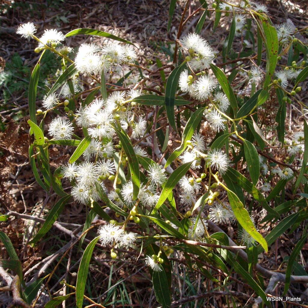 Eucalyptus-viminalis-ssp-pryoriana