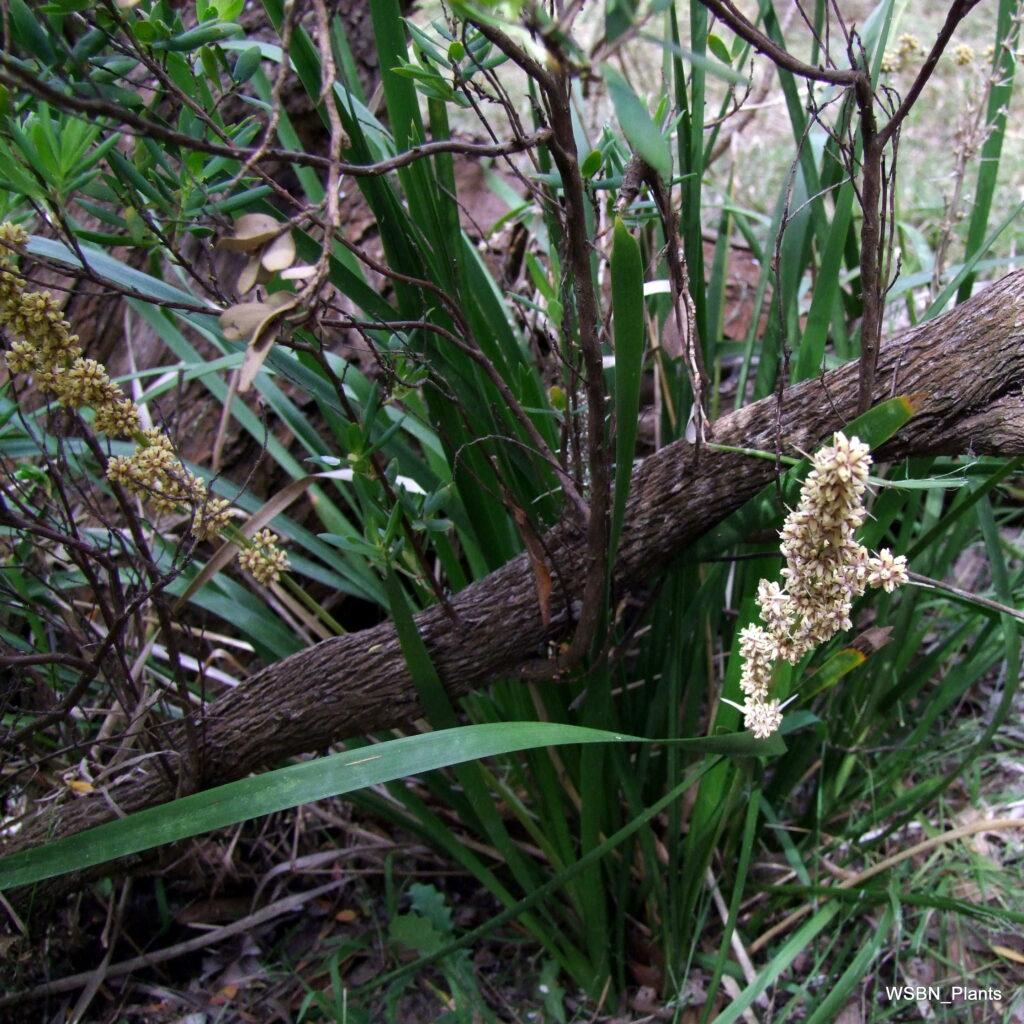 Lomandra-longifolia