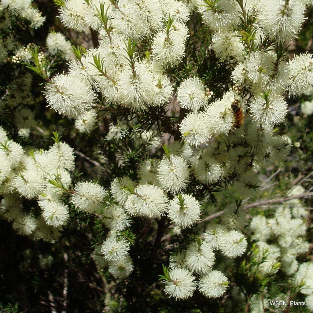Melaleuca-ericifolia